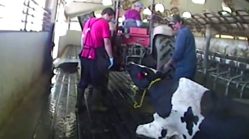 Workers at a dairy facility in Idaho use a tractor to drag a cow on the floor by a chain attached to her neck in this undercover video footage of animal abuse shot by an investigator working for the animal welfare group, Mercy for Animals.