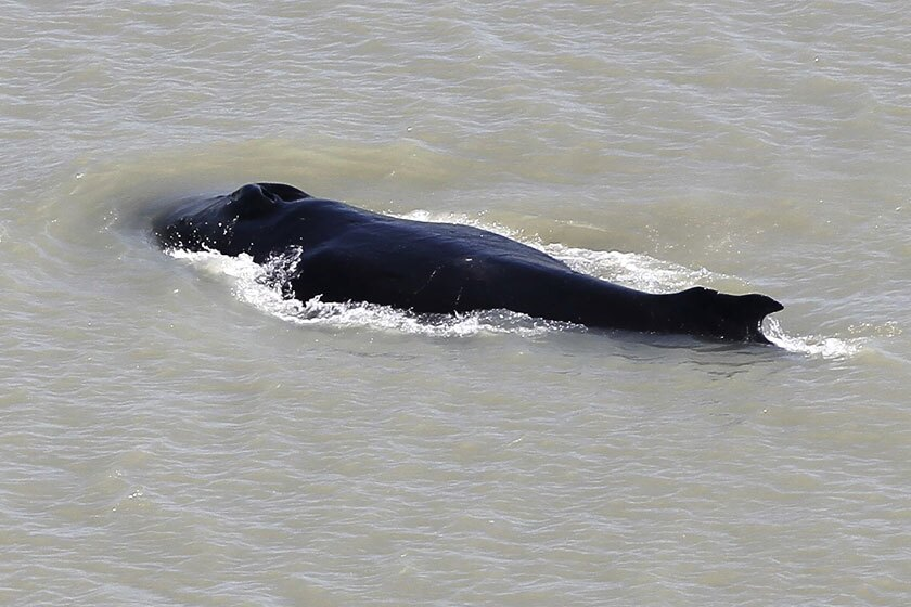 """A humpback whale """"obviously made a wrong turn and ended up in the East Alligator River."""""""