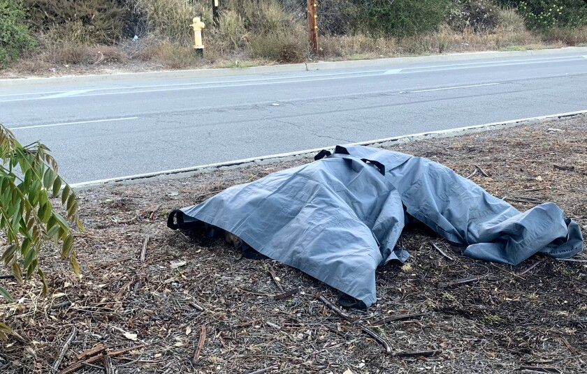 A tarp covers a bear that was killed crossing a street.