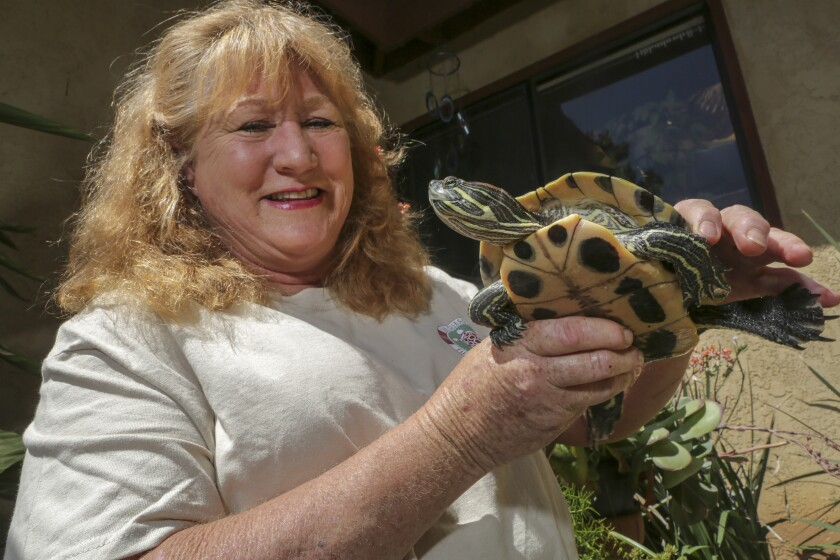 A male red eared slider named Donatello in the hands of Ramona resident Teresa O'Donnell.