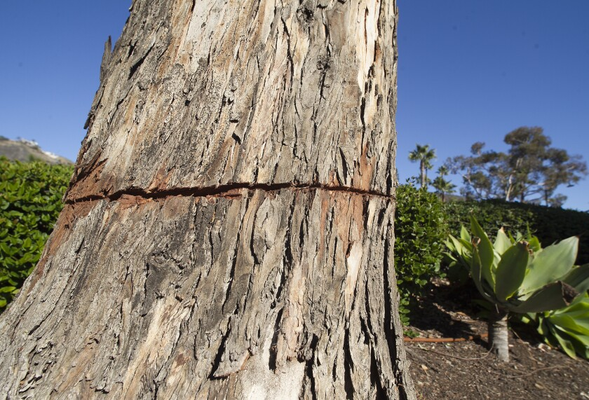 Circular one-inch cuts were made to eucalyptus trees lining the sidewalk paths at the Montage hotel.