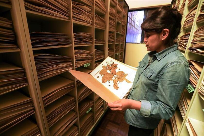 The Bolivian biologist Narel Paniagua shows a document with leaves, in an interview with EFE on Feb. 19, 2019, at the National Herbarium of Bolivia, in La Paz (Bolivia). EPA-EFE / Martin Alipaz