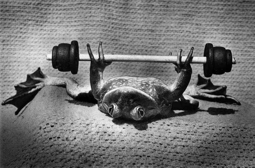 March 23, 1976: A bull frog lifts weights during training at Croaker College for the upcoming Calave