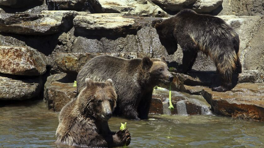 Grizzly and brown bears eat a celery snack in their pool habitat on the California Trail at the Oakl