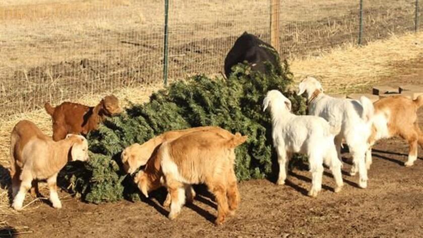 Christmas Tree Recycling-Goats