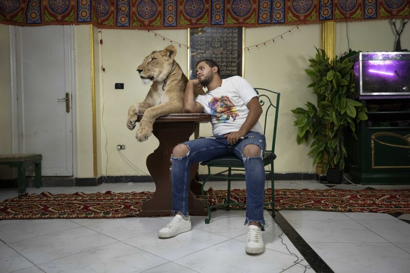 Egypt Virus Outbreak Lions At Home