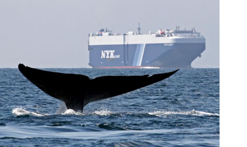 A blue whale is shown near a cargo ship in the Santa Barbara Channel off the California coast.