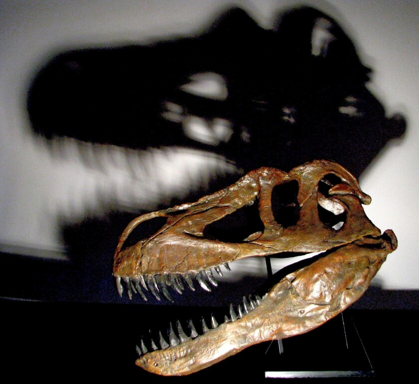 When the Torvosauras gurneyi fossils were discovered in 2003 they were thought to belong to the Torvosaurus tanneri, pictured above. But T. gurneyi has fewer teeth and a different mouth than its cousin.