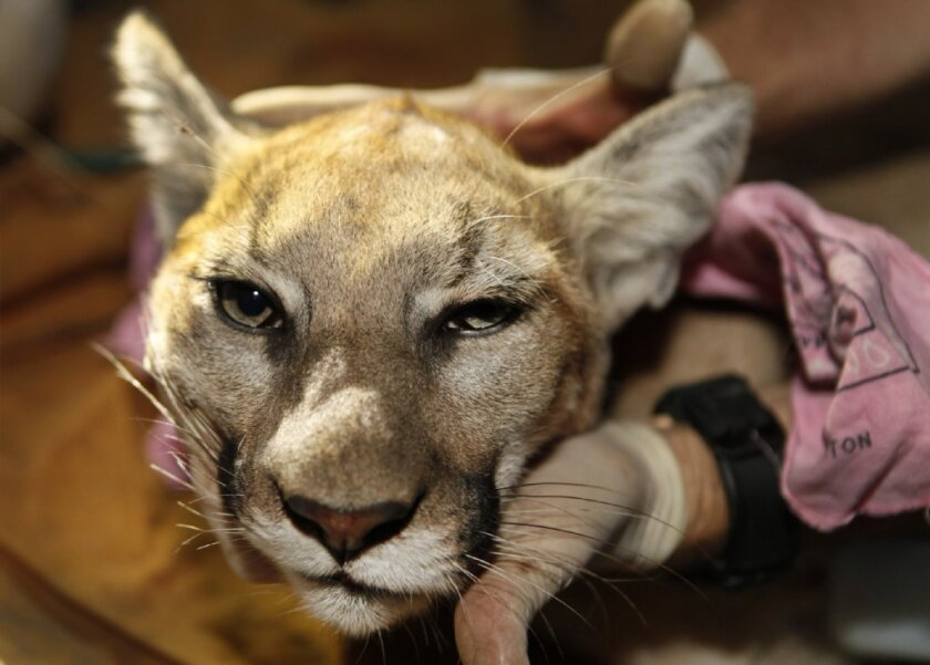 This tranquilized young female mountain lion was found in the Santa Monica Mountains. Trapped by freeways and other development, the big cats in the Santa Monicas are losing genetic diversity.