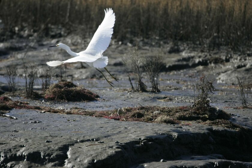 A snowy egret took off from the tidal flats on the inlet of south San Diego Bay heading to salt-production ponds, which federal officials want to turn into tidal wetlands.