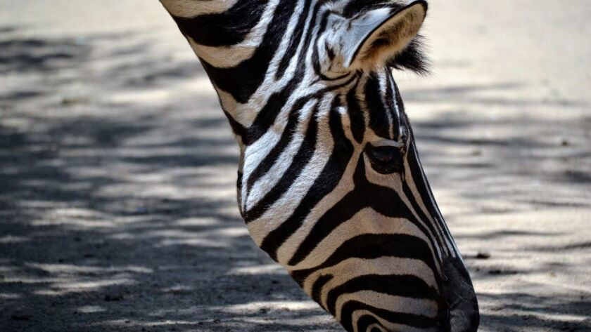 Zebras are part of the animal crew at Rancho Las Lomas in Orange County, which has a wildlife preser