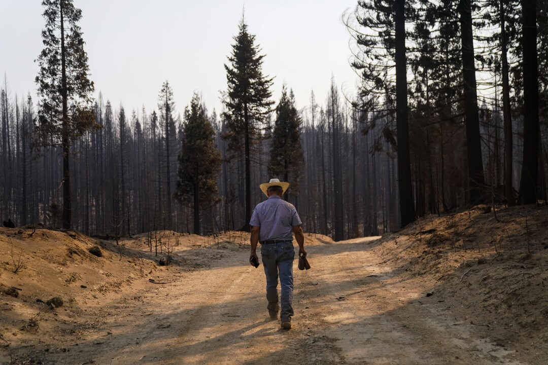 Dave Daley searches for cattle that were lost in the North Complex fire in the Tahoe National Forest.
