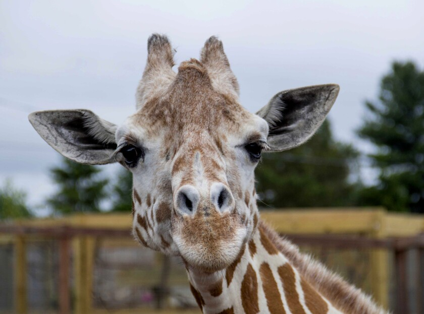 """This undated photo, provided by Animal Adventure Park on Sunday, June 3, 2018, shows a giraffe named April at Animal Adventure Park in Harpursville, N.Y. Park officials said 20-year-old April was euthanized """"due to her worsening arthritis."""" (Animal Adventure Park via AP)"""