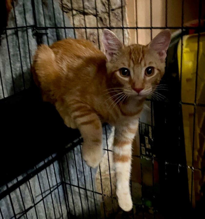 Two orange tabby boys are looking for a new home.