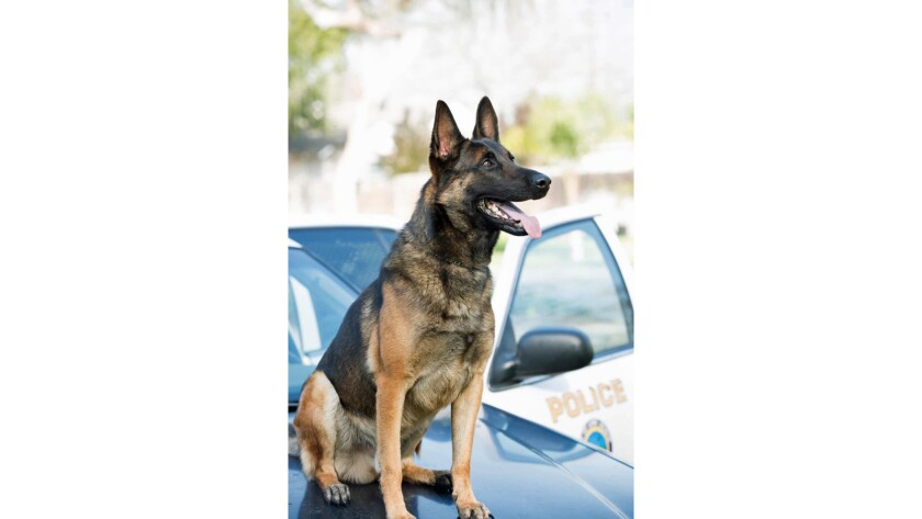 Ozzy, half Belgian Malinois and half German Shepherd, sitting on the hood of a police car.