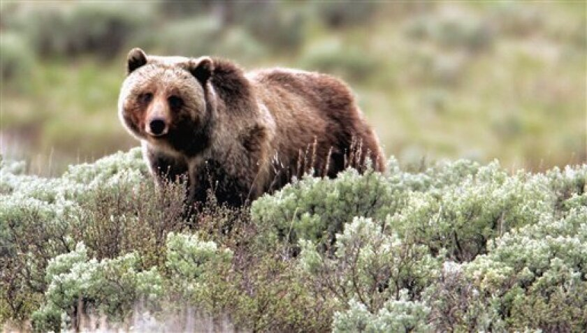 FILE - This June 7, 2005 file photo released by Yellowstone National Park shows a grizzly bear moving through the brush at the park in Wyoming. A grizzly mauled a man to death in Yellowstone National Park Wednesday, July 6, 2011, the first such death in the park in a quarter century but the third in the region in just over a year. Park officials are clearing the area of other hikers and warning people to stay away. Yellowstone and nearby surrounding areas are home to a growing number of grizzlies, at least 600 and some say more than 1,000. (AP Photo/Yellowstone National Park, James Peaco, File)