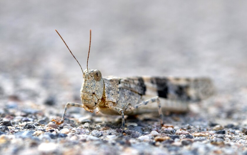 Grasshoppers are invading Las Vegas. How long will they stay?