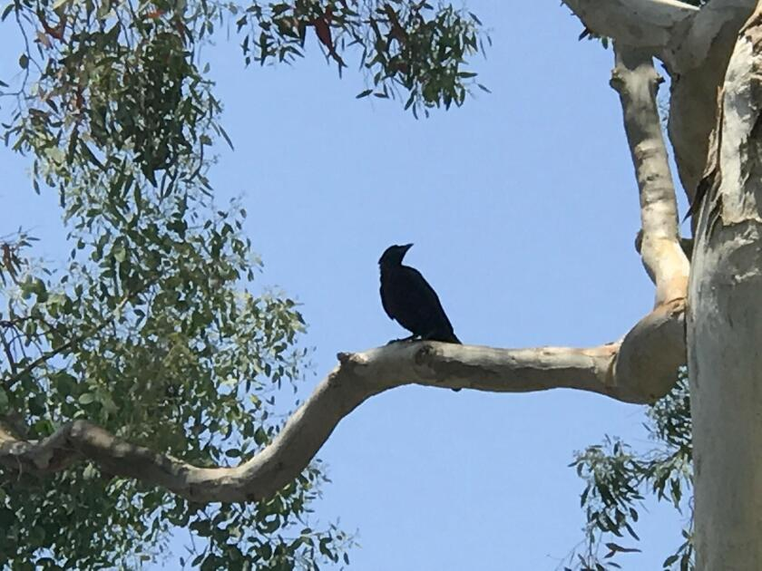 Has La Jolla seen an influx of crows?
