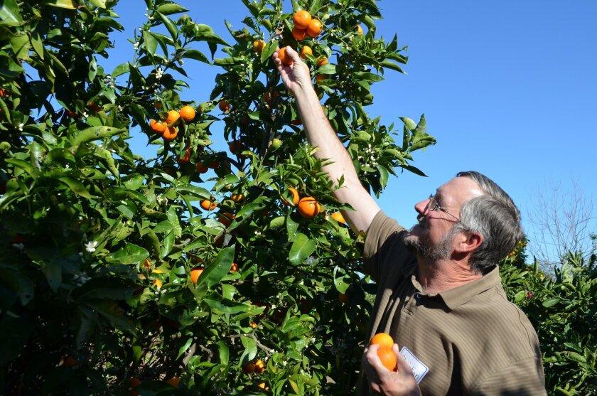 Christian Manion stretches to reach citrus.