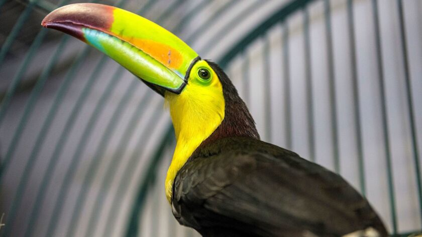 Fern, the toucan that flew out of a backyard aviary in Fullerton in May, sits in a cage at Omar's Exotic Birds in Brea Thursday morning.