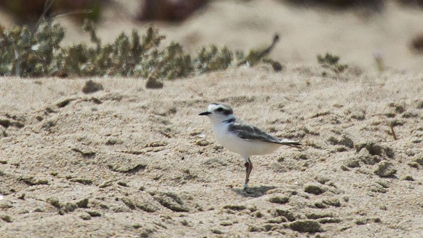 SAND CITY, CA -- FRIDAY, JULY 29, 2016: A Western Snowy Plover, a threatened species protected und
