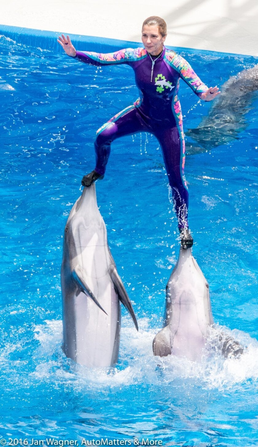 Dolphins and their trainer at Dolphin Stadium