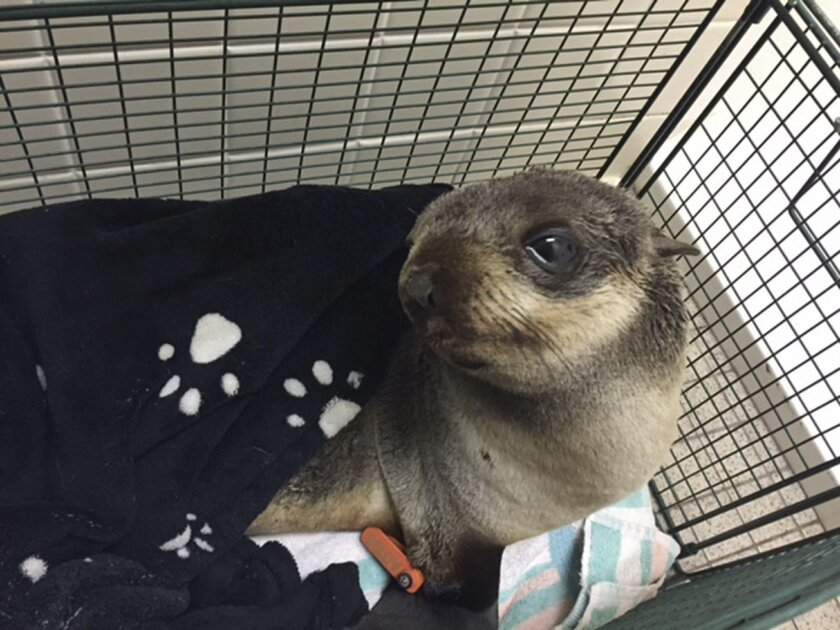 In this Thursday, March 24, 2016, photo provided by the Fremont Police Department, is a young seal pup who made a wrong turn, ending up in Fremont, Calif. The baby California fur seal somehow made it four miles from the water to the front yard of a home in the San Francisco Bay Area Thursday. The seal had no visible signs of injuries and was taken to the Marine Mammal Center in Sausalito for care. (Fremont Police Department via AP)