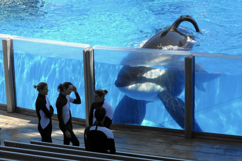 Killer whale Tilikum watches as SeaWorld Orlando trainers take a break at the theme park's Shamu Stadium in Orlando, Fla., in March 2011.