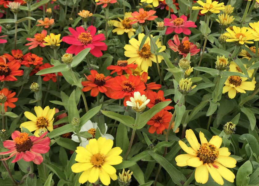 Zinnias from the Profusion series are much easier to transplant than other varieties.
