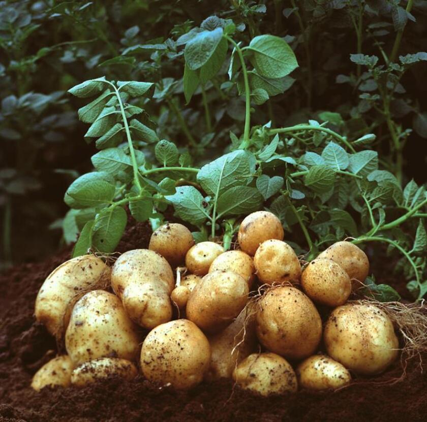 El parásito de las plantas que infectó a las patatas en Irlanda y causó la gran hambruna de 1845 había afectado dos años antes los cultivos en Estados Unidos, según un estudio publicado en la revista PLOS ONE y divulgado hoy. EFE/ARCHIVO/SOLO USO EDITORIAL