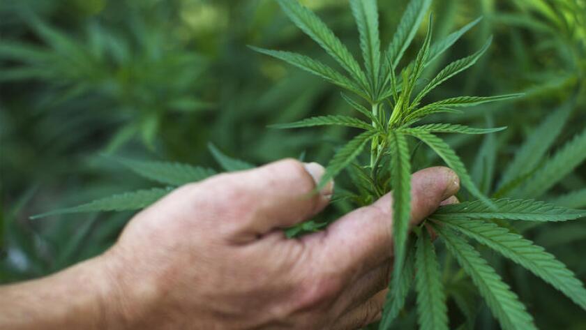 Mientras que los votantes aprobaron el uso de la marihuana para fines médicos en 1996, rechazaron una completa legalización de la droga en 2010.