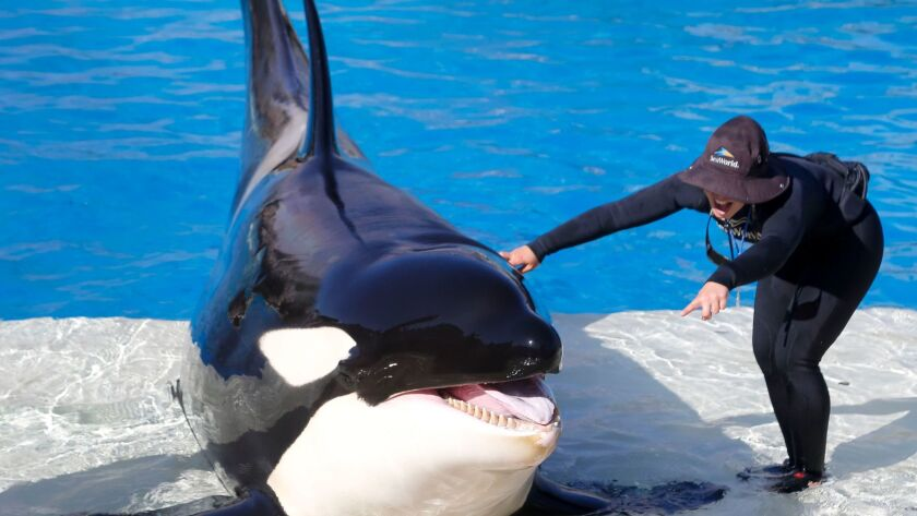 SAN DIEGO, CA: May 19, 2017   Kalia, a 12-year-old orca whale during rehearsals for the upcoming O