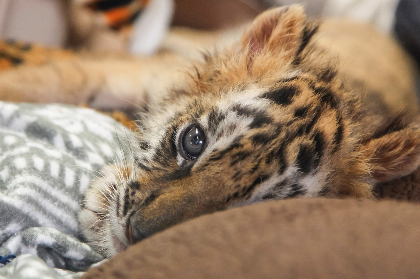 A male tiger cub wakes up from a nap at the San Diego Zoo Safari Park on Wednesday. It was confiscated at the border from an 18-year-old attempting to smuggle it into the U.S.