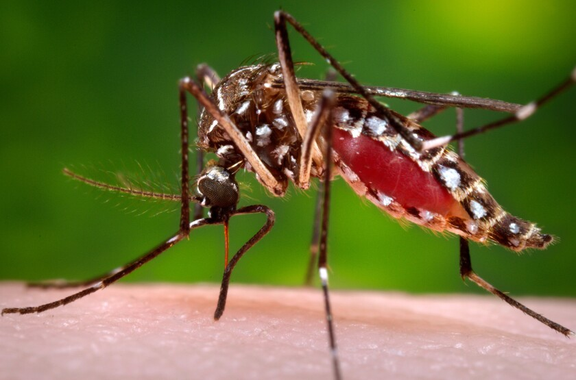 The Aedes aegypti mosquito is the primary transmitter of the Zika virus.