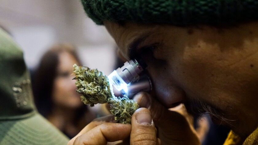 A man examines a marijuana bud during the fifth annual Cannabis Cup, a competition for best marijuana, in Montevideo, Uruguay on July 17.