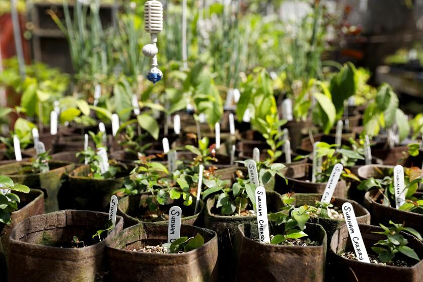 Rishi Kumar's organic nursery.