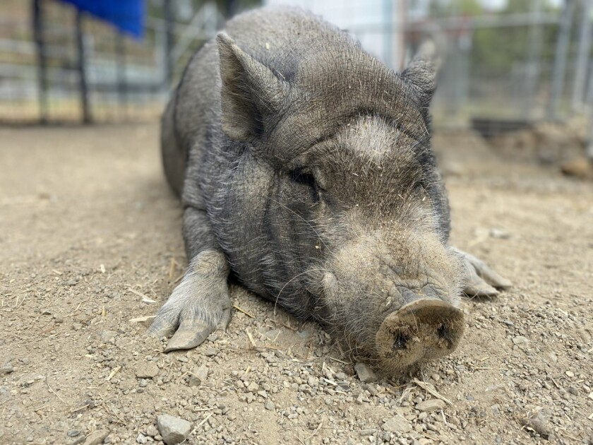 A potbellied pig named Pablo is the Pet of the Week at the San Diego Humane Society's Escondido Campus.