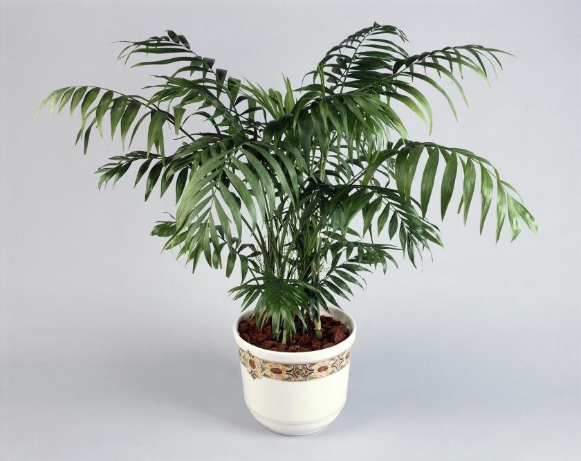 A parlor palm in a decorative pot.