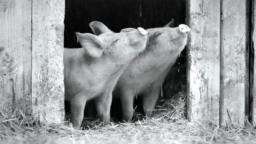 "Two piglets enjoy the barnyard in the documentary ""Gunda."""