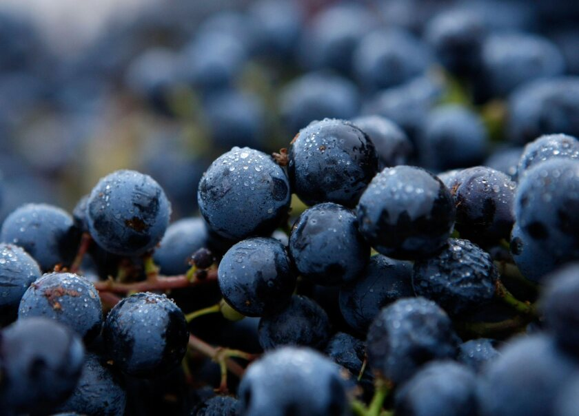Merlot grapes sit in bunches after being picked during a night harvest in Napa on Oct. 1, 2007.
