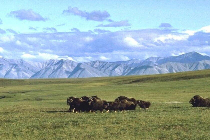 "A small herd of musk oxen in the ""1002"" area of the refuge's coastal plain."