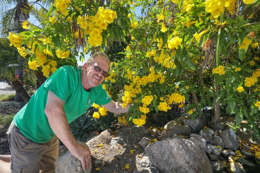 David Ross, Manager here at Walter Andersen Nursery, gets a close look at a large Yellow Bells plant with its yellow flowers growing in front of the store.