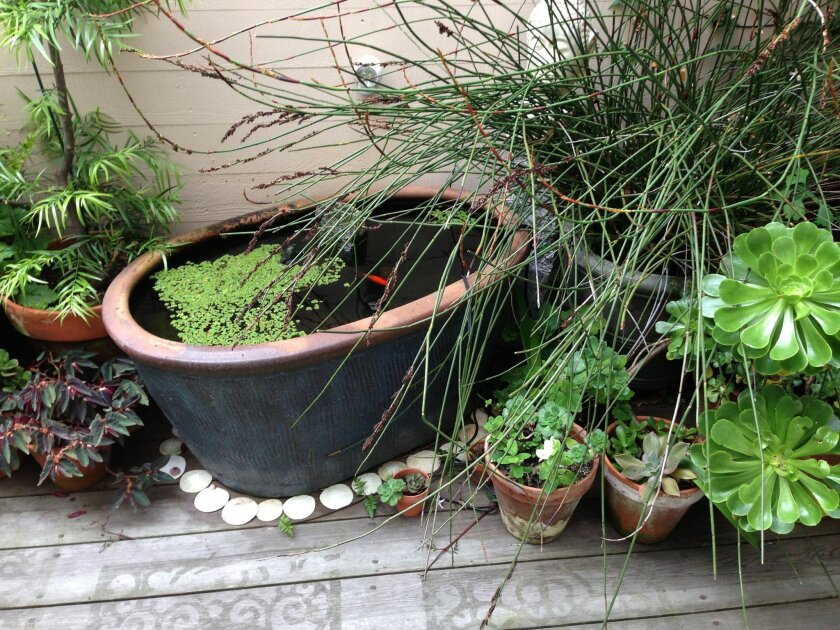 This Aug. 19, 2014 image released by Glen Gage shows a container pond put together using a planter on a patio in San Francisco.  (AP Photo/Glen Gage)