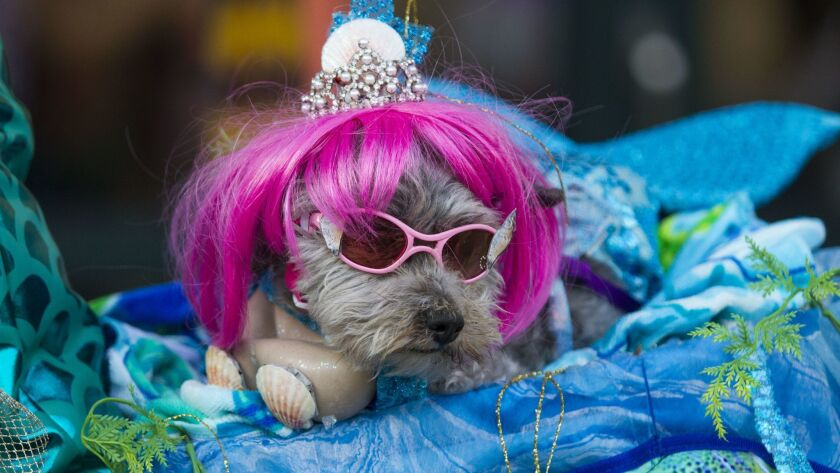 Sir Ruffles, dressed as a Mermaid, rests after winning the costume contest with his owner Jan Savage.
