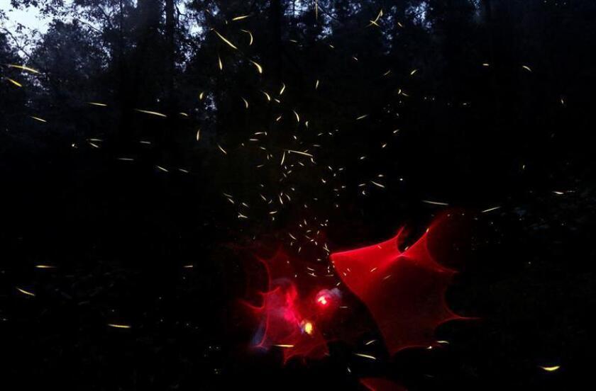Fotografía de archivo del 21 de julio de 2017 que muestra luciérnagas durante su apareamiento en el santuario Piedra Canteada, en Nanacamilpa Tlaxcala (México). Las luciérnagas, especie de insecto luminiscente, son consideradas como un indicador clave para conocer el estado de conservación de los bosques húmedos y su biodiversidad en México. EFE/ARCHIVO