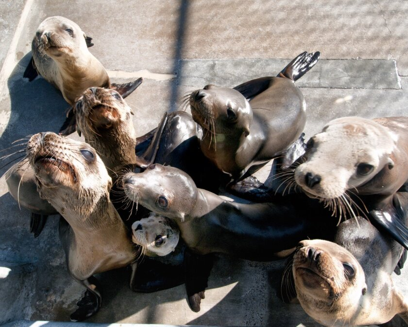 A group of sea lion pups at SeaWorld, which is seeing record stranding numbers this year. By Mike Aguilera/SeaWorld San Diego