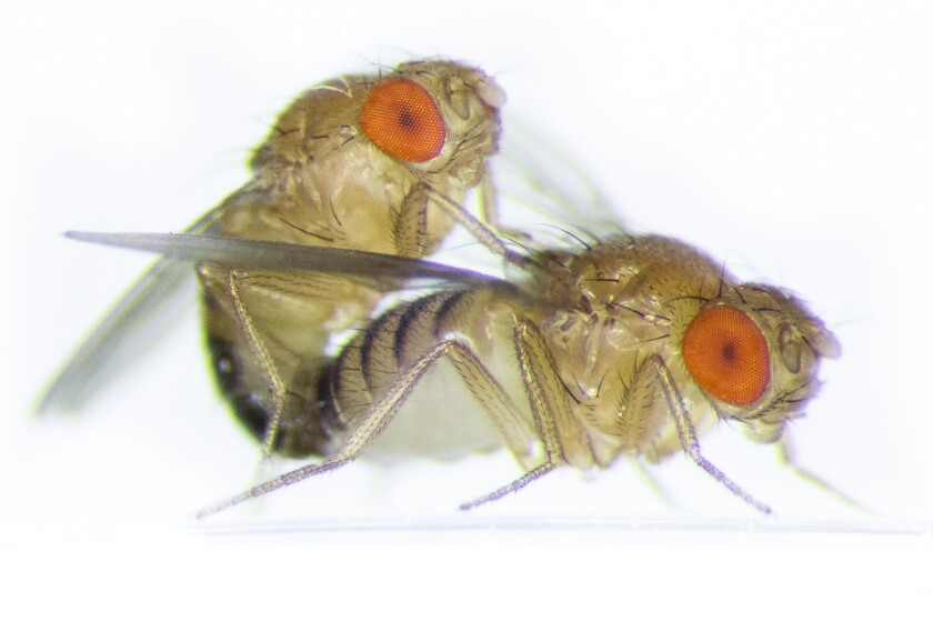 Fruit fly sex relies on a real wing man, a study suggests. Researchers found that related males cooperate in the quest for mates, while a stranger in the mix causes competition that can shorten the female's reproductive lifespan.
