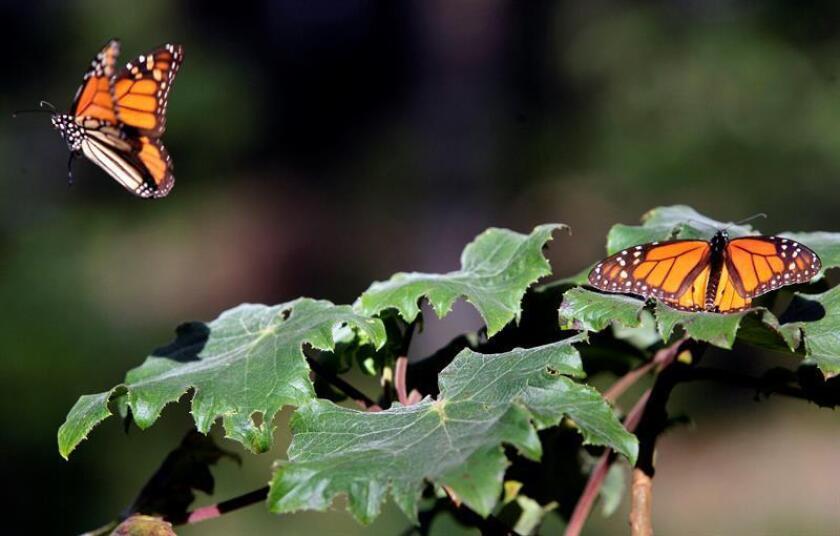 Disminuye a la mitad degradación forestal en hábitat de la mariposa monarca