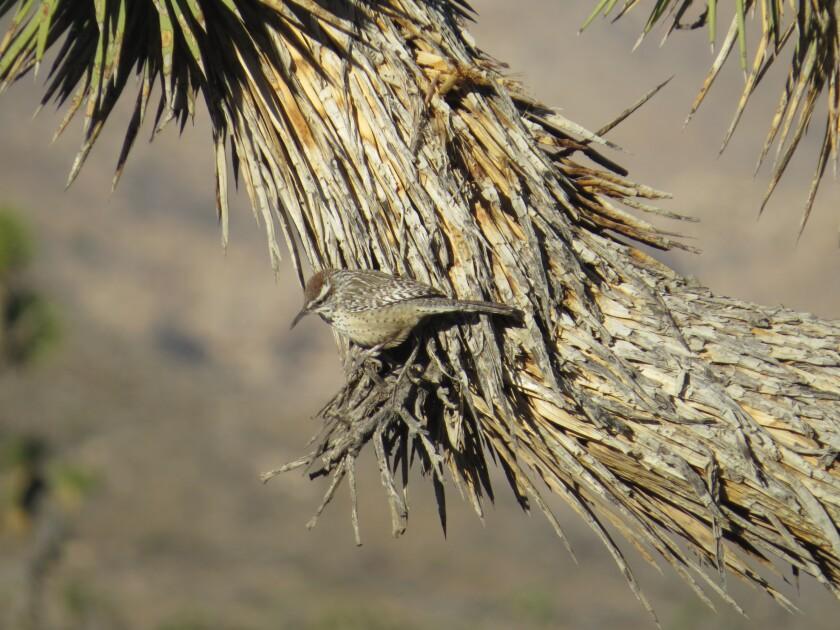 A cactus wren in the California desert.