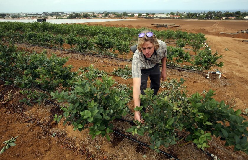 Jess Williams, a grower for Mellano and Company, inspects recently planted blueberry bushes Thursday at the North Forty Urban Farm in Carlsbad.